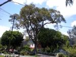 pohon-durian-tarutung